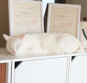 すやすや猫さん✩真っ白Sさん。