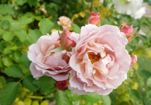 ガーデンの秋バラ