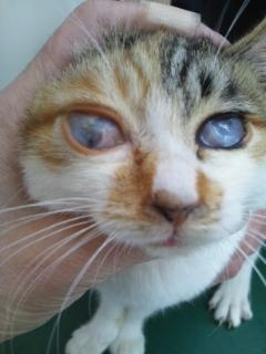 猫の瞼球癒着の1 例