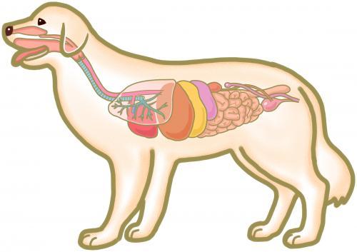 犬、猫の内臓を守って整えている三焦経