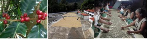 生豆の鮮度は収穫時期によって分類される