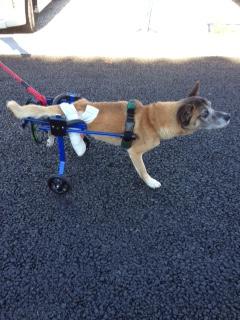 わんちゃんも車椅子で第二の犬生