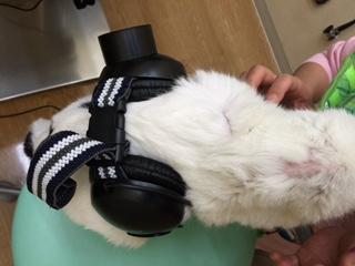 18歳の猫の甲状腺機能亢進症、心筋症、慢性腎不全の治療3