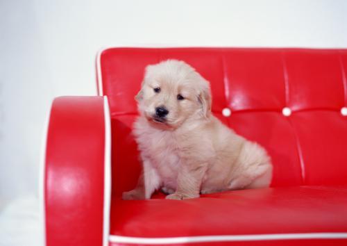 犬の特発性慢性肝炎の症状と血液検査