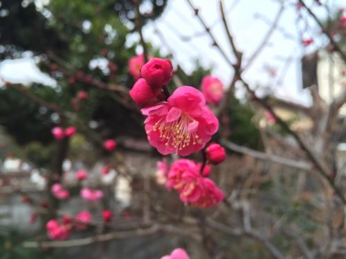 梅開花!?