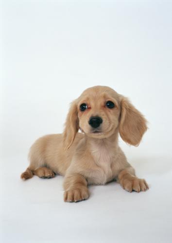 犬の特発性慢性肝炎の画像検査と生検検査