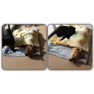 猫のダッコちゃんが、生き倒れのワンちゃんを介護してくれました