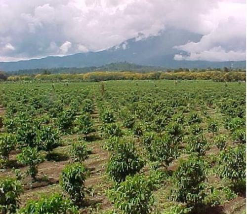 コーヒーは熱帯性植物と言われるが?