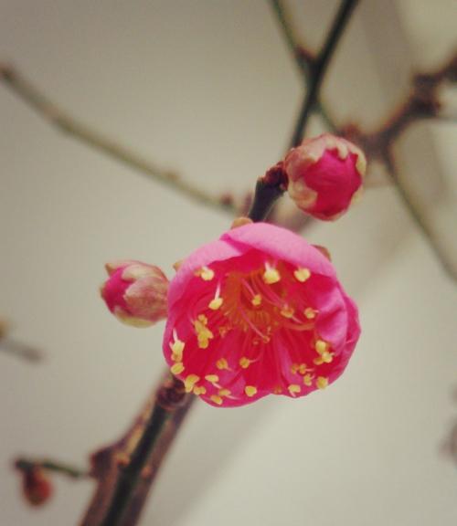 エステサロンサロンの紅梅開花❤