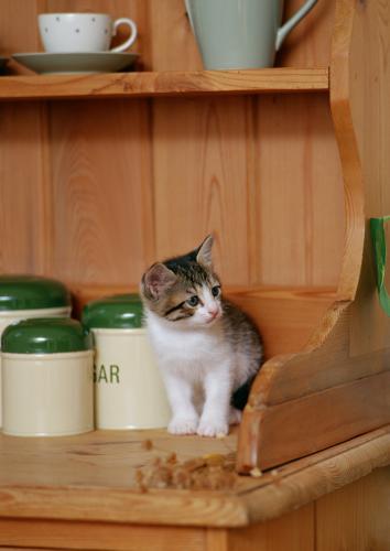 猫の肝臓の病気、肝リピドーシスの診断について