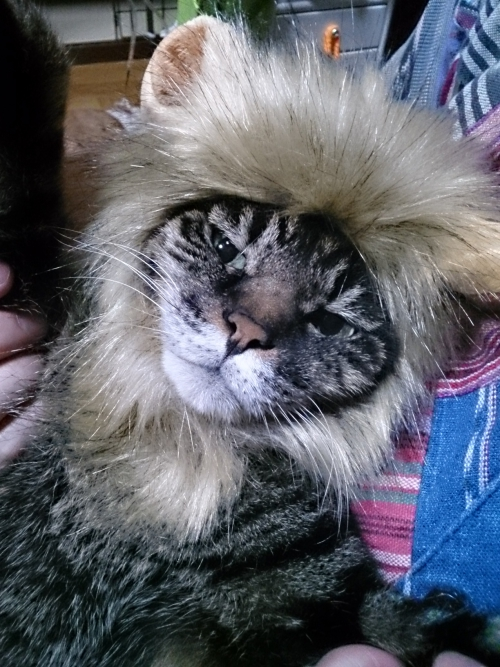 ウチのネコかぶりしてみました。(=`ェ´=)