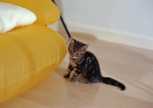 猫の肝臓の病気、好中球性胆管炎について