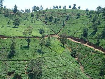 スリランカ紅茶《キャンディ》