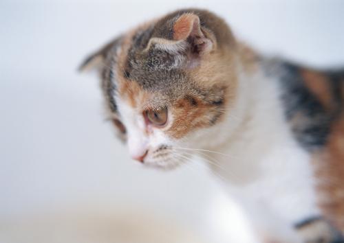 猫の肝臓の病気、リンパ球性胆管炎の診断の続き