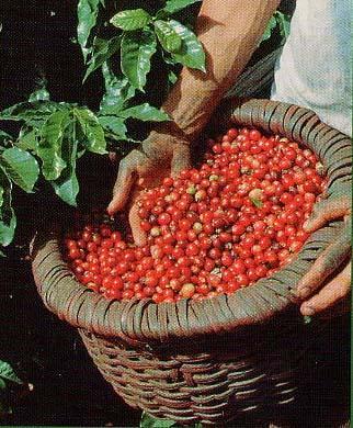 コーヒーのカフェインは煎茶や紅茶より多い?