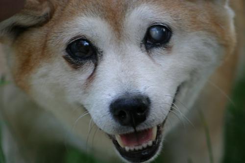 柴犬でよくみられる目の病気の緑内障について