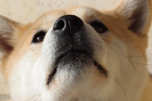 柴犬でよくみられる目の病気の緑内障の病期の分類