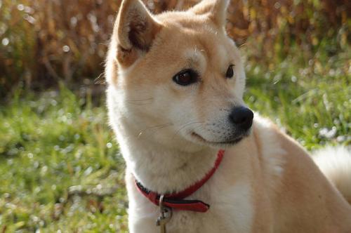 柴犬でよくみられる目の病気の緑内障の診断のポイント