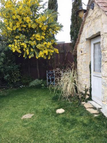ガーデンスタジオは今、ミモザの花が満開です!