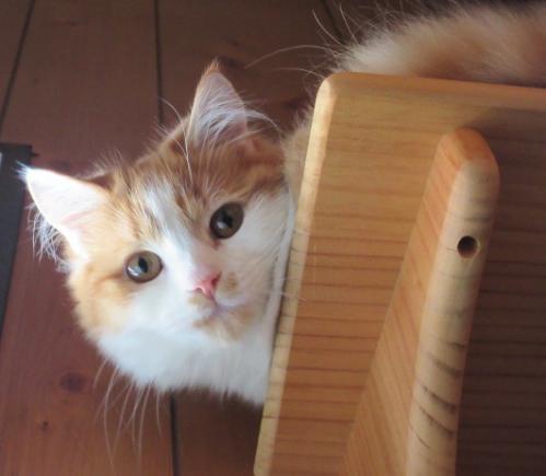 ネコちゃん、我が家のマンチカンです。