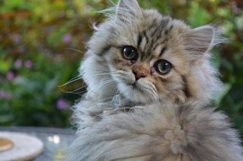 猫のペルシャやヒマラヤンなどによくみられる目の病気