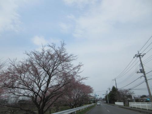 桜の開花。