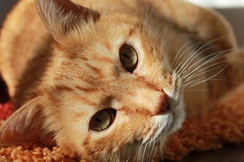 猫でよくみられる目の病気の猫ヘルペスウイルス性角膜炎