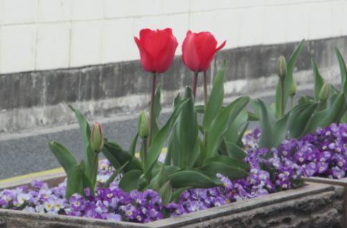 桜の花、チューリップの花。