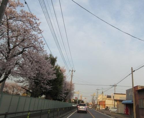 3月の終わり、桜の花。