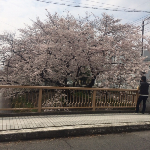名古屋北区黒川沿い桜満開
