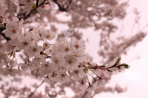福岡城さくら祭りもいよいよ明日まで☆