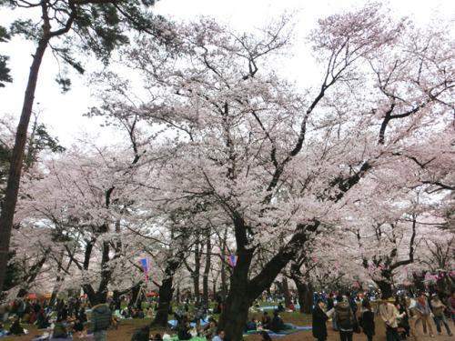 今週は大宮公園の桜が見ごろです!