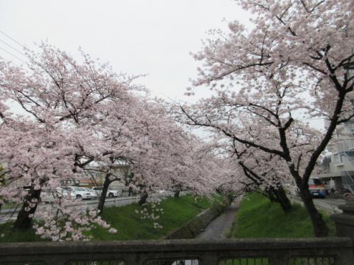 桜の花にうっとりと…。