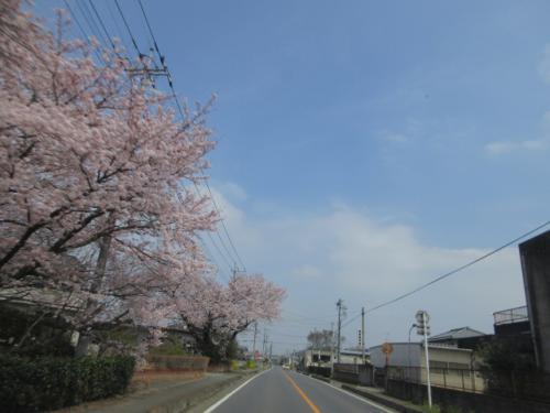 4月3日 日曜日 桜の花。
