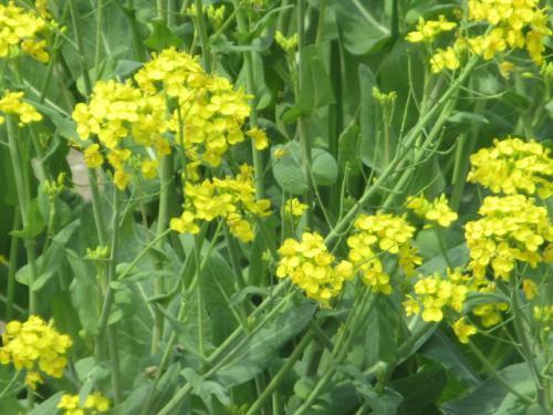 菜の花の黄色い美しさ。