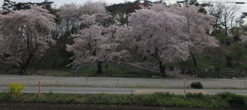 悪天候でも、桜の美しさに心躍らされて…。