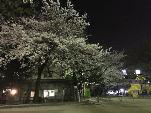 福岡市中心部の桜レポート①