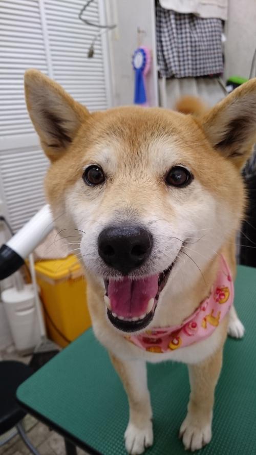 柴犬めいちゃん