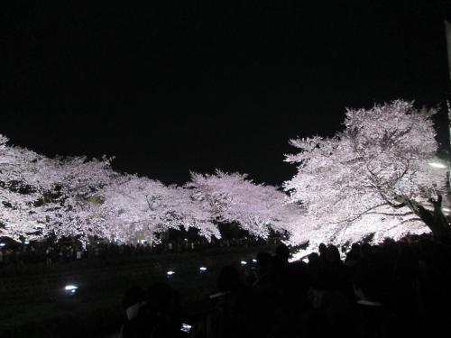 夜桜~野川~ライトアップ
