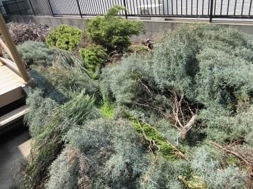 行田市の一軒家、お庭のお片付け、枝木回収です。