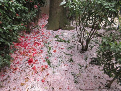 風に舞う桜吹雪の地面。