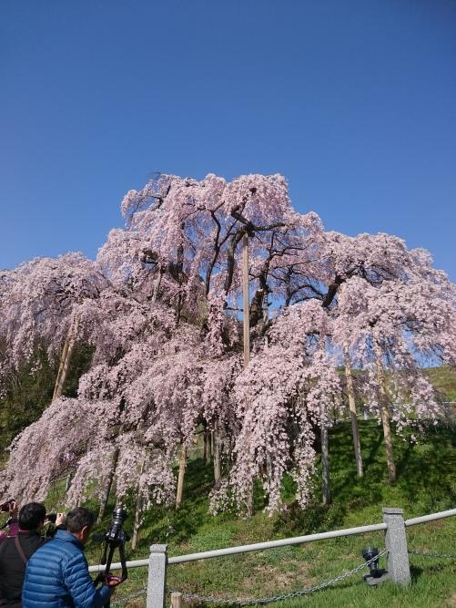 三春の滝桜(^-^)