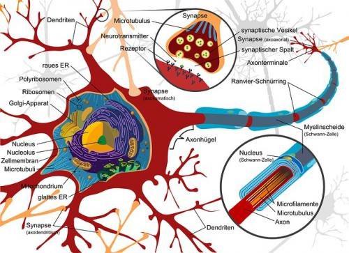 神経細胞の老化