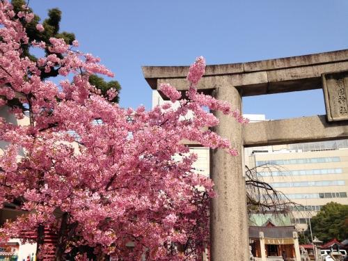 福岡・天神で桜満開です