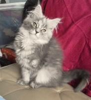 ペットサロン睦に看板猫がやってくる!名前はニノ!