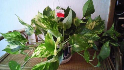 《ぽとす》 観葉植物頂きました。落ち着いた店内に最適です!