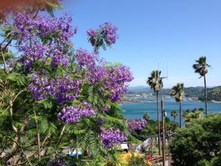 ジャカランダの花が見頃です。