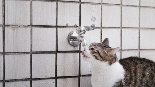 お水をいっぱい飲んでおしっこをいっぱいしている老猫