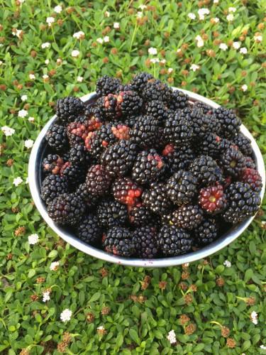 大収穫のブラックベリー!