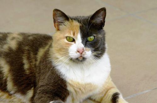 最近多い猫の特発性膀胱炎